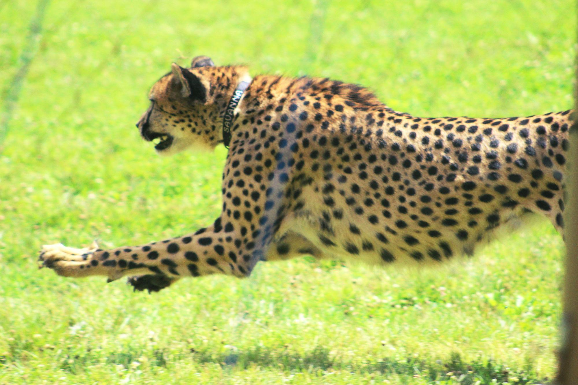 Spencer vs. the Serval